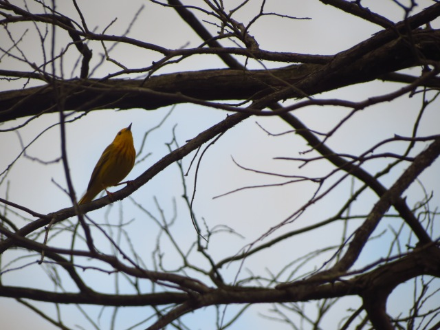 Yellow Warbler laments a lack of leaves.