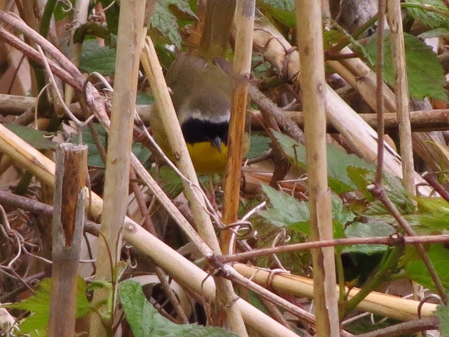 Common Yellowthroat whose name I will likely never remember.