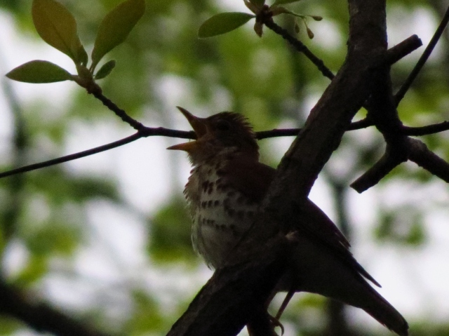 The Wood Thrush belts out its electronic melody.