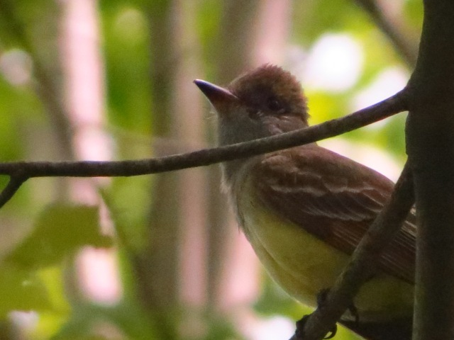 Great Crested Flycatcher before he flew away.  We heard him at Great Swamp, but got good looks at Lord Stirling Park.