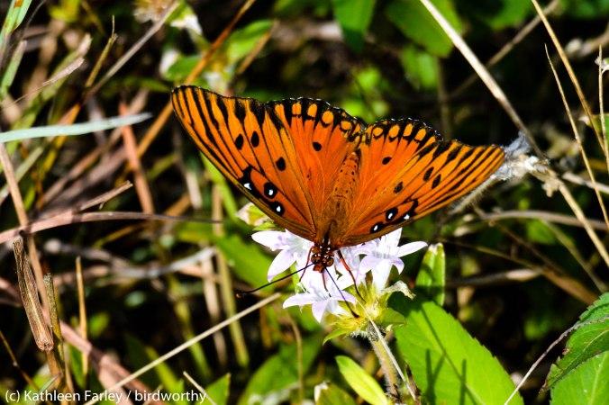 Gulf Fritillary Buterfly, Agraulis vanillae. Photo taken on January 2, 2015 with a Nikon 3200 Sigma 500mm.
